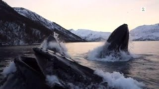 Norwegian fishermen have close encounter with hunting humpback whales (English subtitles) thumbnail