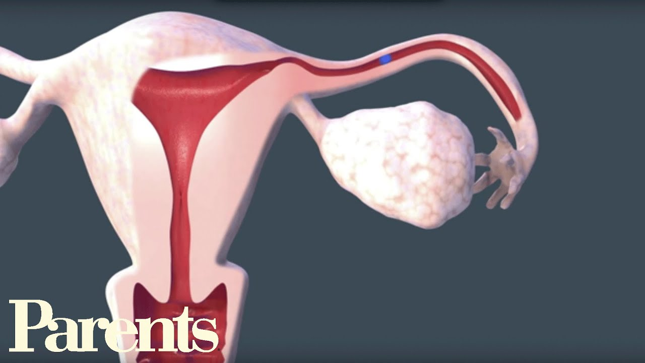 Egg and sperm fertilization animation