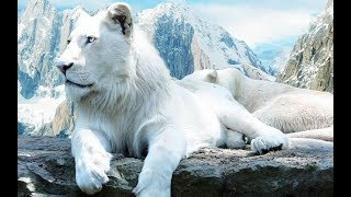 "🐯🐅🐆 The Rare and Exotic Animals "" White Lions""- Full Documentary 🐯🐅🐆"