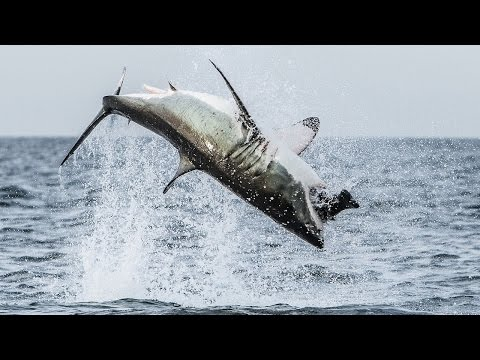 Flying Shark: Great White Breaches Off South Africa's Coast