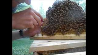 Year of BeeKeeping Episode 31, Swarm Cell Transplants