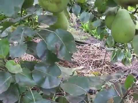 Черешня Крупноплодная саженцы черешни фото сорта Дивосад