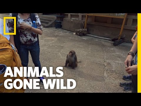 A Primate Pickpocket | Animals Gone Wild