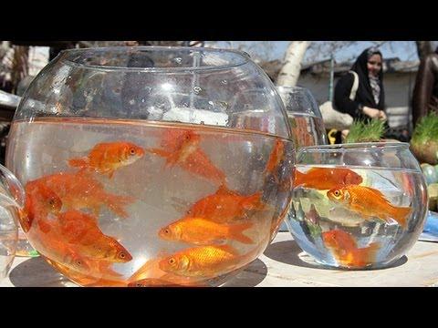 Giant Goldfish Take Lake Tahoe