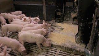 Porc : valorisation du tourteau de soja