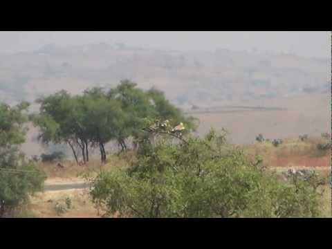 Eastern imperial eagles Higher plains Dhofar Oman 08/11/2012