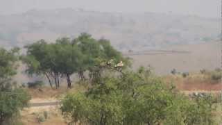 Eastern imperial eagles Higher plains Dhofar Oman 08/11/2012