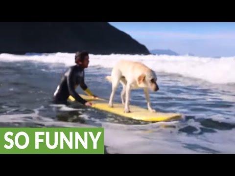 Meet Mendi the incredible surfing dog
