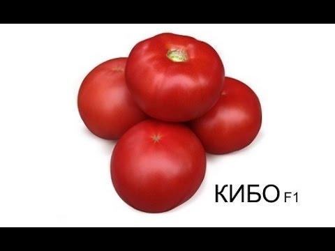 Выращивание розового томата КИБО F1: уникальный томат для теплиц