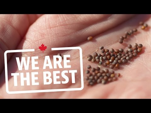 Canada's prairies produce enough mustard seeds for billions of jars each year | We Are The Best