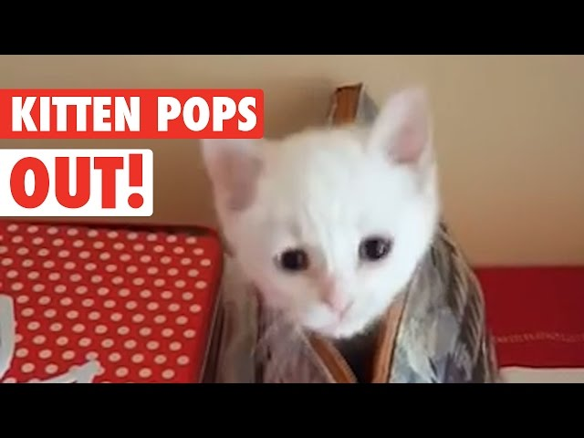 Funny Kitten Popping Out of Purse