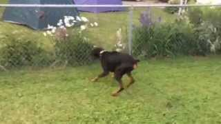 Adoptable Conner playing in the yard