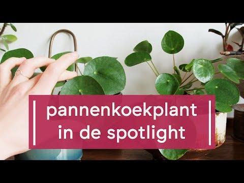 Plant Spotlight: Pannenkoekplant/Pilea peperomioides