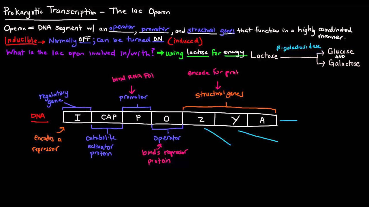 806063daae0 Prokaryotic Transcription (Part 2 of 5) - The lac Operon - YouTube