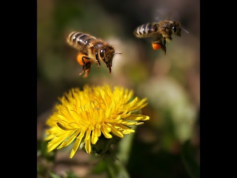 SAVE THE BEES!  'IF YOU CARE' Our Heroes! Quietly, Globally, Billions of Bees are Dying!