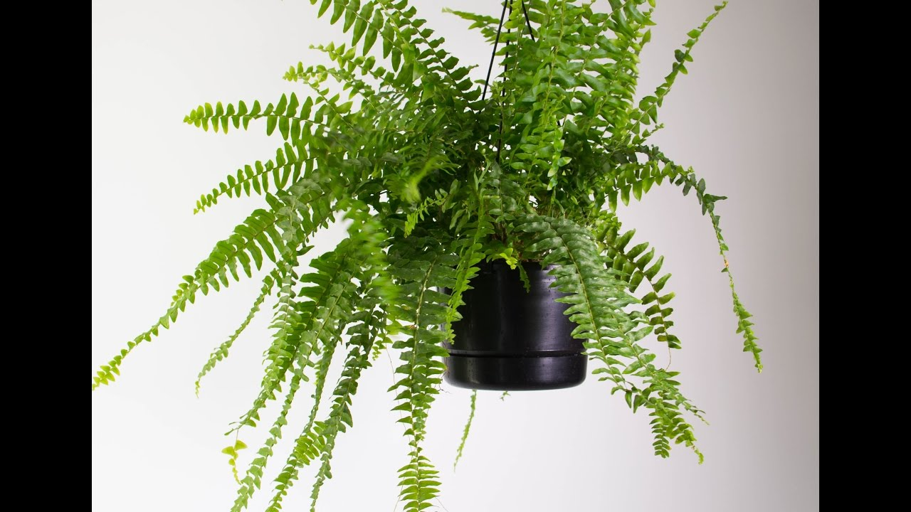 interesting fern house plants. Boston Fern House Plant  How to Take Care of a Permanent Urdu hindi YouTube