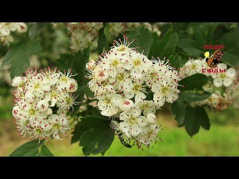Вопрос: Чем пахнет боярышник во время цветения, какой запах у боярышника(см)?
