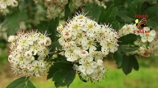 Растение боярышник (описание), цветы и плоды боярышника