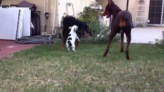 Fearless French Bulldog Pup Vs. 2 Dobermans