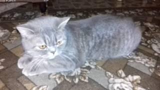 Течка у шотланской кошки