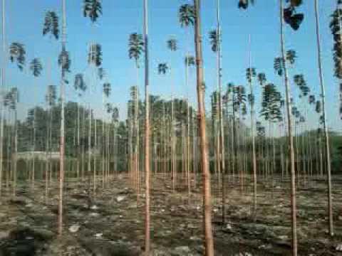 9673579969 Tissue Culture Burma Teak Plantation Seema