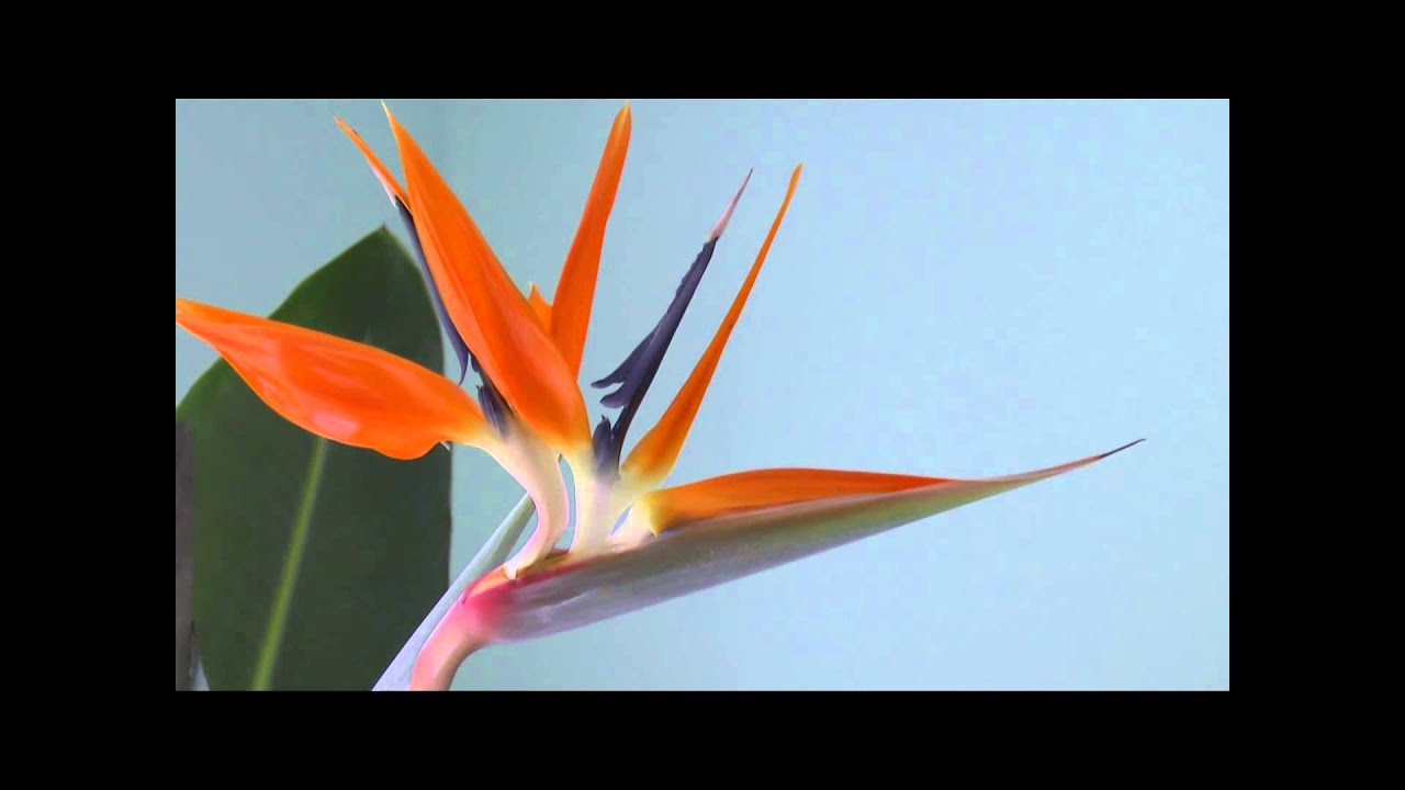 bird of paradise flower youtube