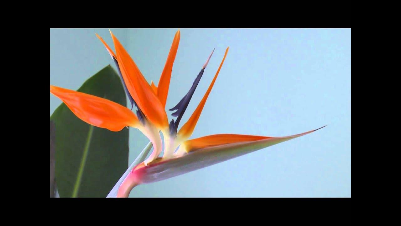 Bird Of Paradise Flower Youtube