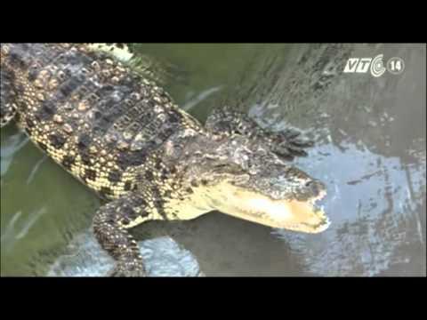 VTC14_Cà Mau: Đa số chuồng trại nuôi cá sấu tự phát không an toàn_26.06.2013