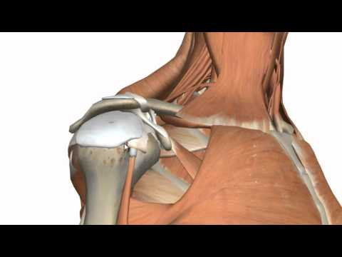 Shoulder Joint - Glenohumeral Joint - 3D Anatomy Tutorial
