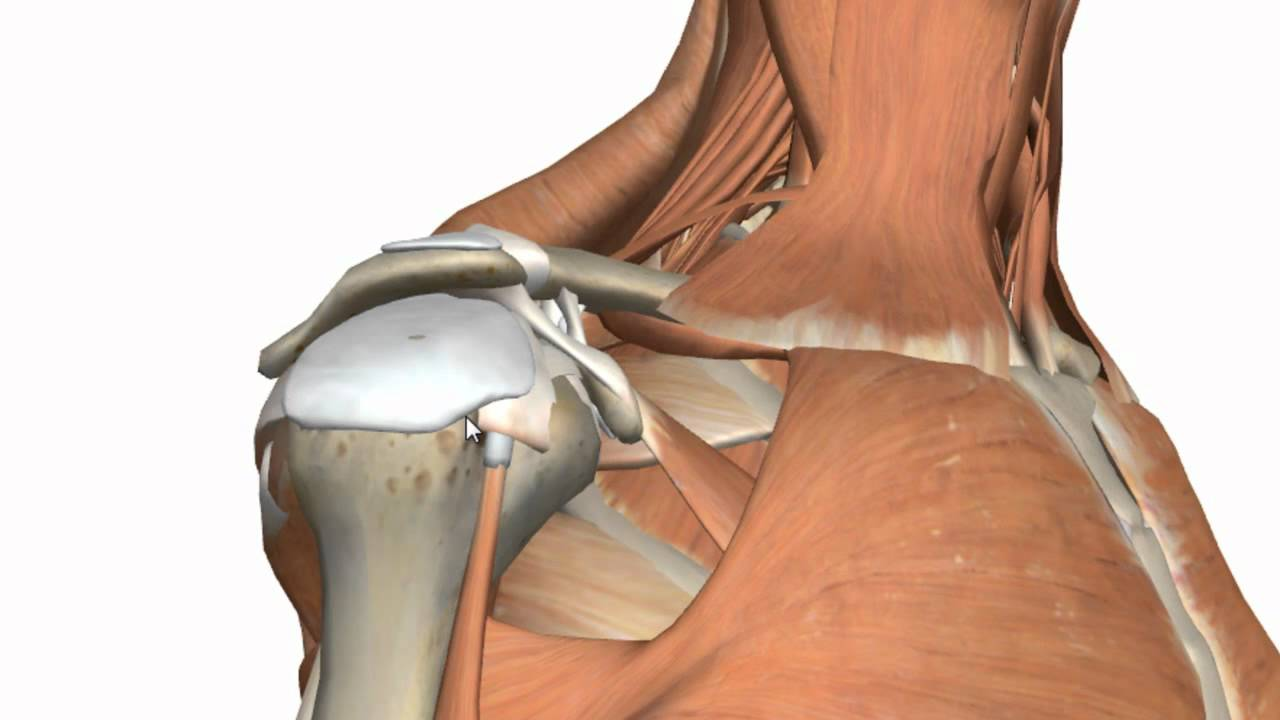 Shoulder Joint - Glenohumeral Joint - 3D Anatomy Tutorial - YouTube