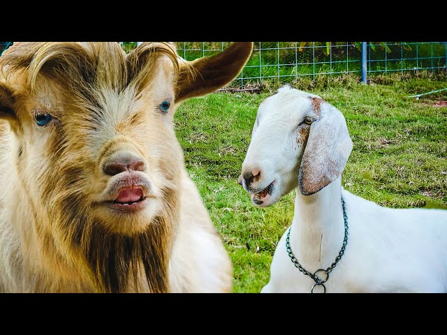 What happens when a BIG & LITTLE goat fall in love?