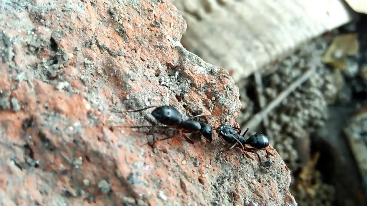 Download Ant fight | chitiyon ki larayi | Ant man | ant