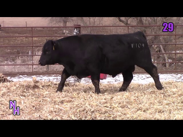 New Haven Angus Lot 29