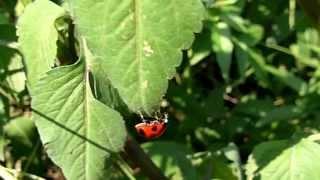 Ladybug walking: 天道虫のお散歩