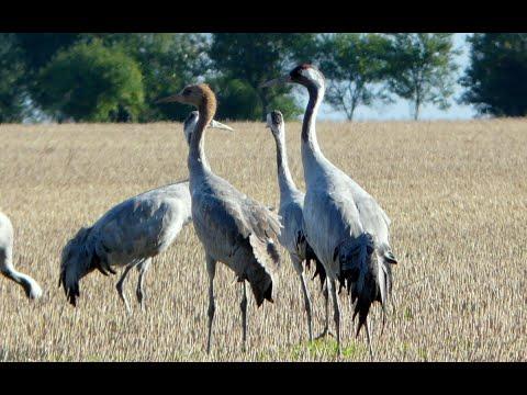 Kraanvogels in Noordoost
