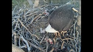 Big Bear Eagle Cam ~ Small Bites For Small Beaks; BB1 Falls Over 2.14.18