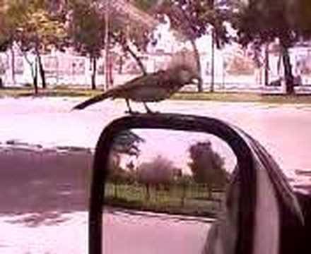 Birds love mirrors ?
