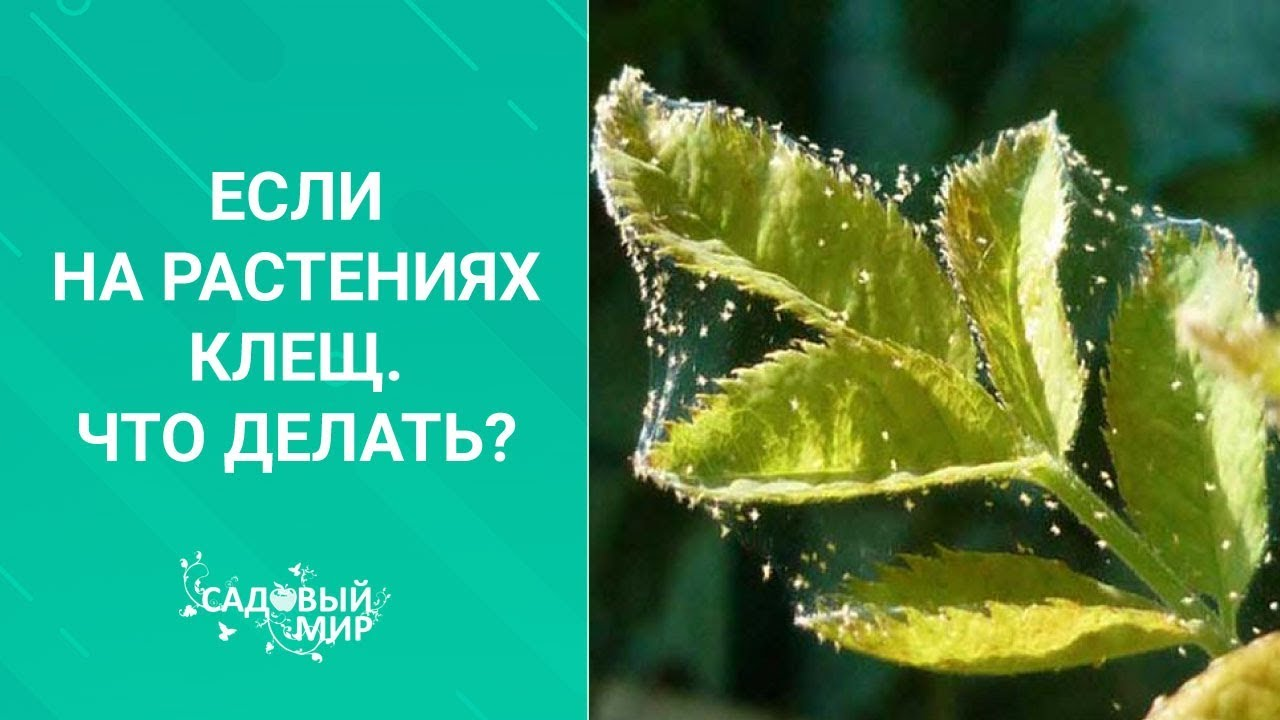 Внимание! На рассаде клещ. Что делать, если листья тускнеют, сохнут.ю опадают...