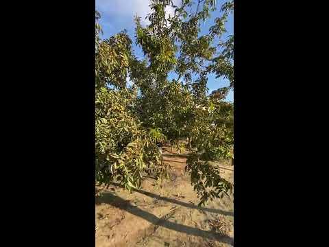 Spedo Fruipick Ağaç Silkme Makinesi İle 2020 Ceviz Hasadı 1