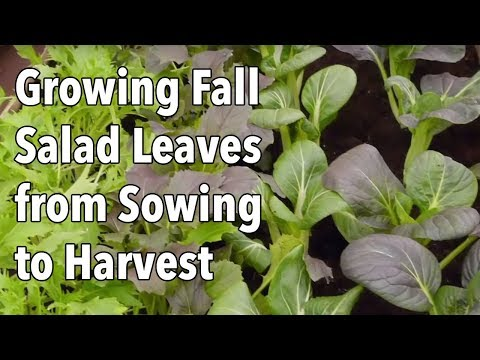 Growing Fall Salad Leaves from Sowing to Harvest
