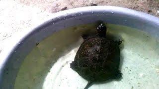 Европейская болотная черепаха.