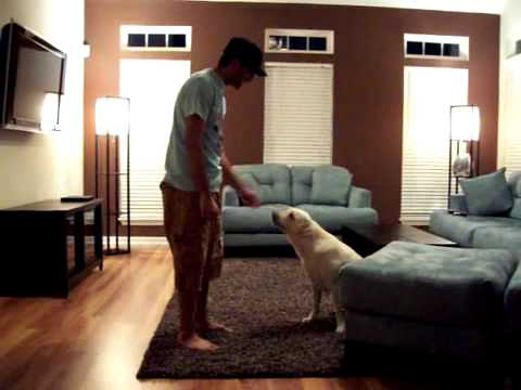 Secrets to dog training - Labrador training and puppy barking - Dog Training videos, Dog Training