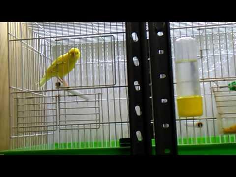 Canto canarino maschio giallo intenso pronto per le cove