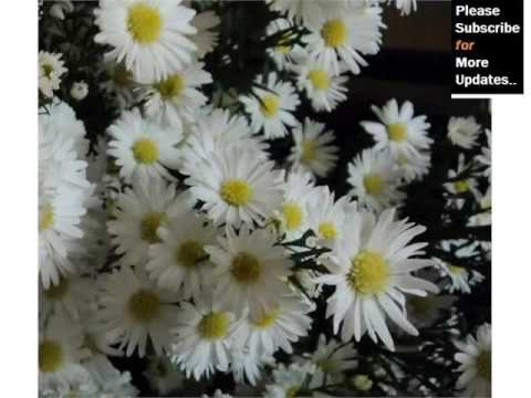 white asters flowers beautiful pictures romance, Beautiful flower