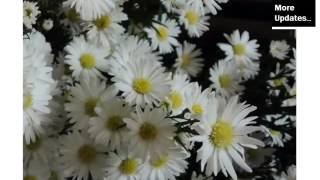 White Asters Flowers Beautiful Pictures Romance