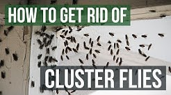 How to Get Rid of Cluster Flies (4 Simple Steps)