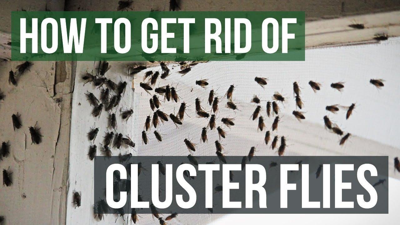 how to get rid of cluster flies 4 simple steps