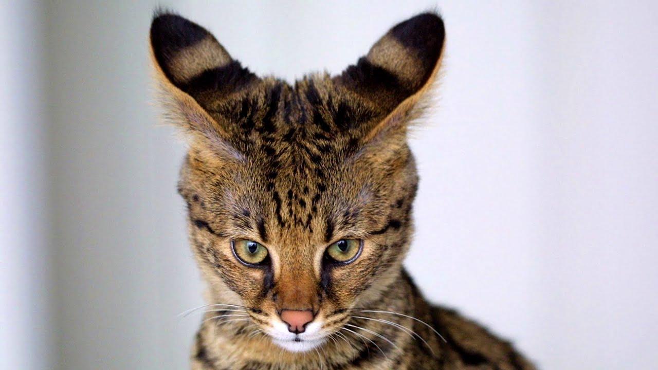 Poważne Top 7 Najdroższe koty - YouTube ZF34