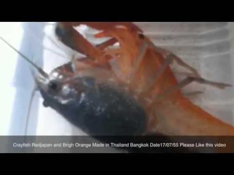 how to eat crawfish youtube