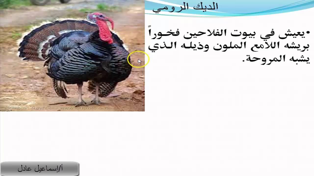 درس طيور لا تطير للصف الرابع الابتدائي الترم الثاني